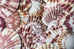 sea shell scallops up close on top red yellow beach ocean background texture room for text food natural nature pattern