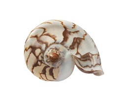 Sea shell with patterned markings showing the spiral from the front view.