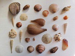 Sea Shells. Sand Dollar. Fig shells. Tower shells. clam shell. Olive shell. Shell decor