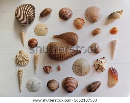 Sea Shells. Sand Dollar. Fig shells. Tower shells. clam shell. Olive shell. Shell decor