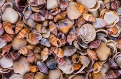 Sea Shells Seashells! - variety of sea shells from beach - panoramic - with large scallop shell.
