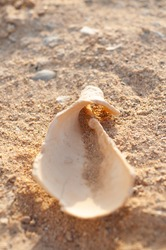 sea shells with sand as background. sea shell onthe beach close-up. natural colors. shell on the beach. beach in egypt marsa alam beach. vertical photo