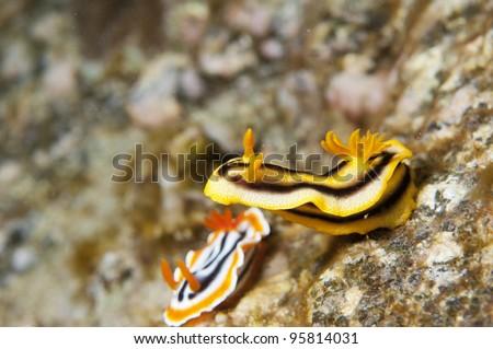 Sea Slug _ Chromodoris colemani