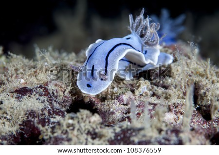 sea slug, Nudibranch