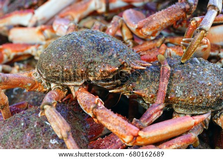 Lobster and Spider Crabs Images and Stock Photos - Avopix com
