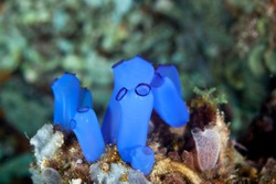 Sea squirts, tunicates, or ascidians living on the reef