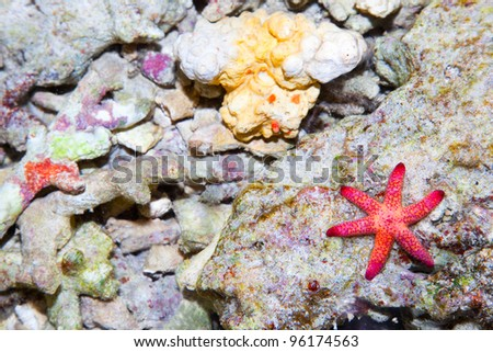 Sea star in the coral reef, Bali sea, Indonesia
