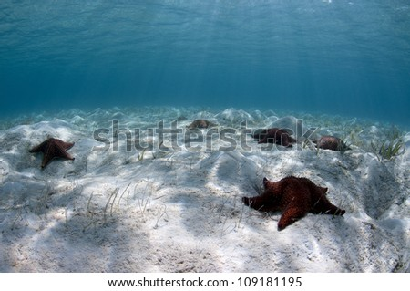 Sea stars or starfish over a shallow sandy bottom in the Caribbean - stock photo