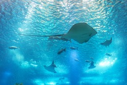 Sea stingray and marine life. A marine aquarium with fishes and corals.