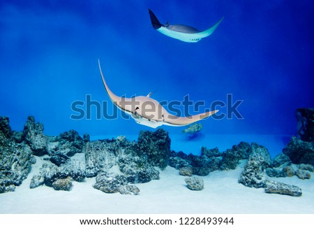 Sea Stingray. Stingrays, which are also called sea cats, are found in temperate and tropical waters. A characteristic feature of these fish is their body shape, which resembles almost correct rhombus  #1228493944