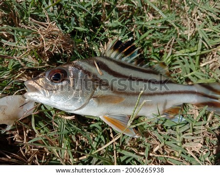sea tigerfish hit by an angler's hook. Stock fotó ©