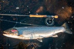 Sea trout fishing trophy on fly rod