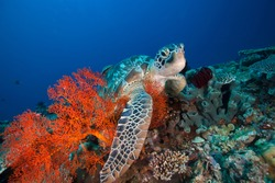 Sea Turtle and Sea Fan