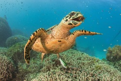 Sea Turtle at the Great Barrier Reef, Australia