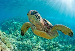 sea turtle close up over coral reef in hawaii