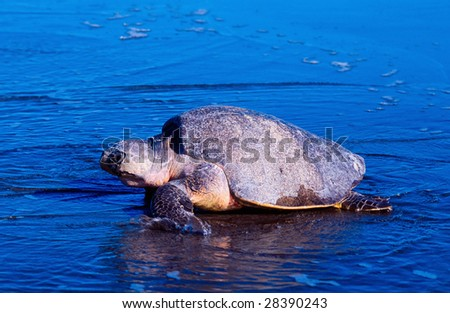 Sea turtle crawling from the beach to the sea