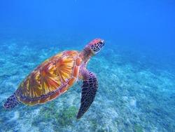 Sea turtle dive in sea water. Big green sea turtle closeup. Endangered species of tropical coral reef. Tortoise photo. Tropic seashore ecosystem. Big turtle in blue water. Aquatic animal in underwater
