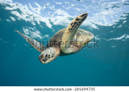 Sea Turtle Diving Down: A Hawaiian Green Sea Turtle swims down from the glassy ocean surface through clear blue ocean water