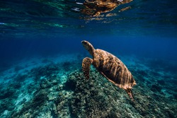 Sea turtle glides in blue ocean. Turtle swim underwater