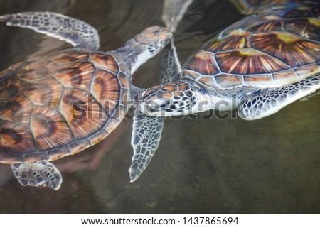 Sea turtle , green turtle swimming on water pond farm
