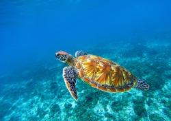 Sea turtle in blue ocean closeup. Green sea turtle closeup. Endangered species of tropical coral reef. Tortoise photo. Tropic seashore fauna. Summer travel seaside activity. Snorkeling with sea turtle
