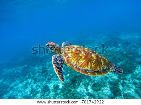 Sea turtle in blue ocean closeup. Green sea turtle closeup. Endangered species of tropical coral reef. Tortoise photo. Tropic seashore fauna. Summer travel seaside activity. Snorkeling with sea turtle