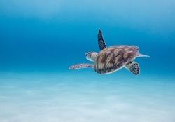 Sea Turtle in blue sea