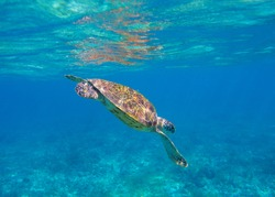 Sea turtle in blue seawater dive to coral reef. Oceanic animal underwater photo. Green sea turtle full body in natural environment. Diving or snorkeling banner template. Tropical island summer travel