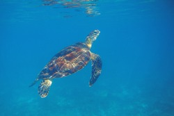 Sea turtle in blue seawater swim to water surface. Aquatic animal underwater photo. Green sea turtle full body in natural environment. Diving or snorkeling banner template. Tropical island vacation