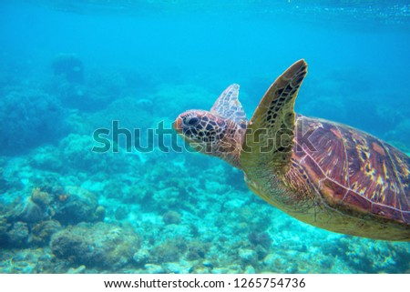 Photo of  Sea turtle in blue water. Friendly marine turtle underwater photo. Oceanic animal in wild nature. Summer vacation activity. Snorkeling or diving banner template. Tropical seashore with sea tortoise