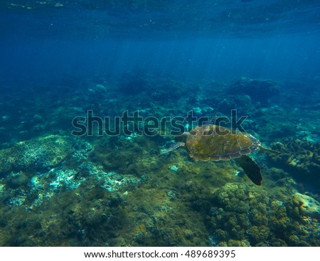 Sea turtle in blue water. Green sea turtle close photo. Sea turtle closeup. Green turtle swimming deep in the sea. Snorkeling with turtle. Philippines snorkeling spot - Apo island. Exotic animal image #489689395