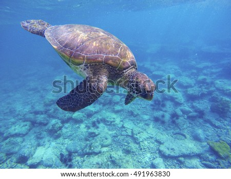 Stock Photo Sea turtle in blue water. Green sea turtle diving in coral reef. Sea tortoise. Green turtle swims in sea. Snorkeling with turtle in lagoon. Underwater image of wild nature with text place