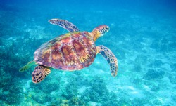 Sea turtle in clear blue sea water. Green sea turtle closeup. Wildlife of tropical coral reef. Tortoise undersea. Tropical seashore ecosystem. Big turtle in blue water. Aquatic animal underwater photo