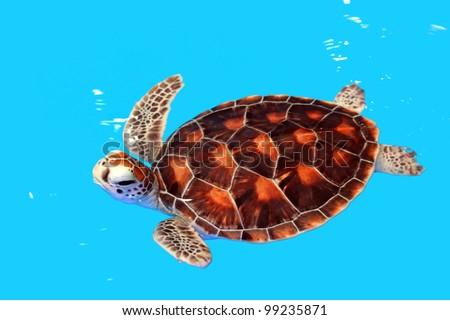 Sea Turtle in Nursery ponds
