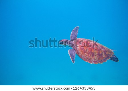 Stock Photo Sea turtle in open sea. Exotic marine turtle underwater photo. Oceanic animal in blue water. Summer vacation activity. Snorkeling or diving banner template. Tropical seashore with sea tortoise