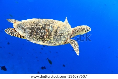 Sea turtle in The Indian Ocean, Maldives
