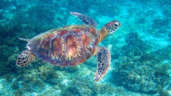 Sea turtle in tropical lagoon. Green sea turtle closeup. Wildlife of tropical coral reef. Wild tortoise undersea. Tropical lagoon ecosystem. Big turtle in blue water. Aquatic animal underwater photo