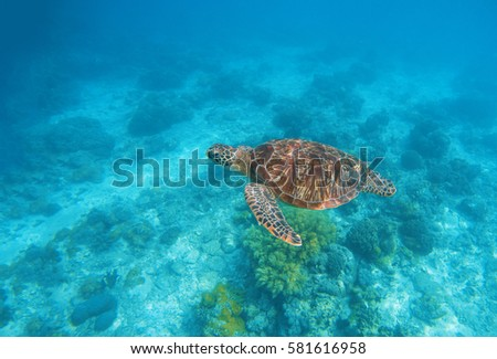 Stock Photo Sea turtle in water. Exotic island aquatic environment in sea lagoon. Wild turtle undersea animal in blue tropical seashore. Underwater photo with tortoise. Sea turtle banner template with text place