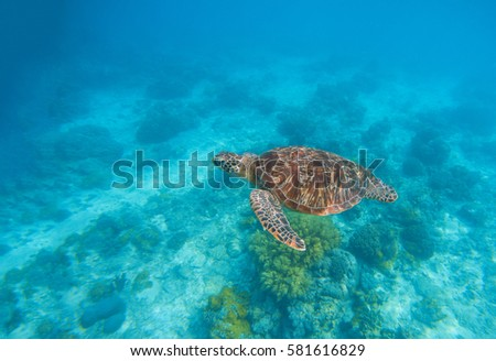 Stock Photo Sea turtle in water. Exotic island marine environment in sea lagoon. Wild turtle undersea animal in blue tropical seashore. Underwater photo with tortoise. Sea turtle banner template with text place