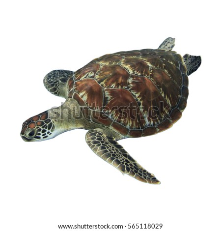 Sea Turtle isolated white background