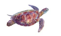 Sea turtle on white background. Marine tortoise isolated. Green turtle photo clipart. Marine animal of tropical seashore. Coral reef ecosystem inhabitant. Green sea turtle full body isolated on white