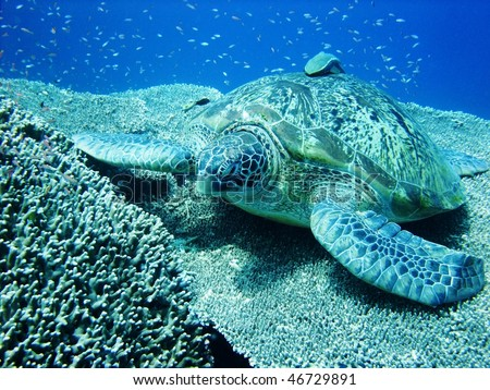 Sea turtle resting at hard coral at Bunaken, Manado, Indonesia