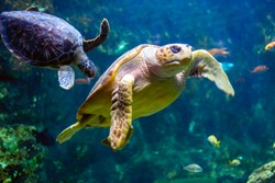 Sea turtle seen at the Aquarium de la Guadeloupe - Le Gosier