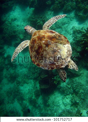 Sea Turtle, Sipadan - Borneo