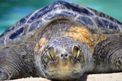 Sea turtle sleeping in the sun