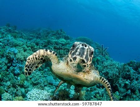 Sea Turtle smimms into camera
