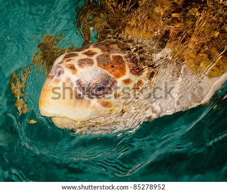 Sea turtle surfacing in ocean
