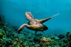 Sea Turtle swimming freely in open ocean