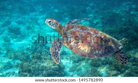 Sea turtle swimming in clear blue water. Green turtle underwater photo. Tropical seashore wildlife. Wild marine tortoise in natural environment. Inhabitant of coral reef. Snorkeling banner with turtle