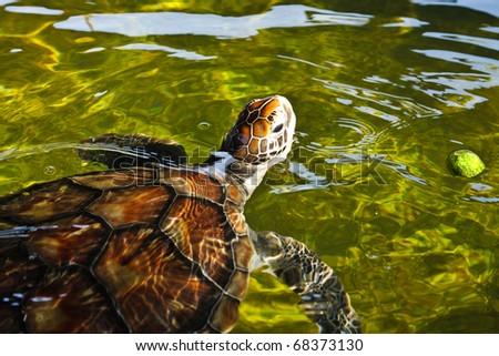 Sea turtle swimming in farm pond, thailand